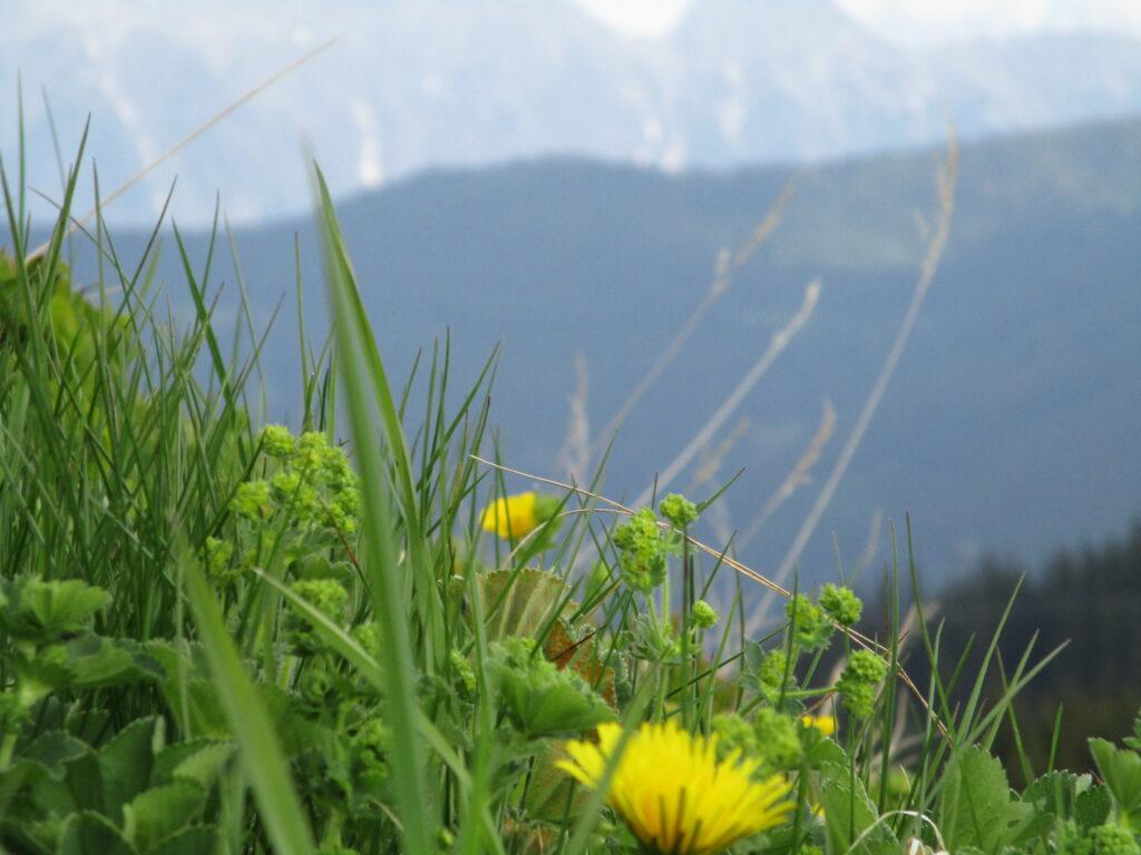 Bergwiese an der Schmittenhöhe